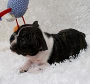 Healthy AKC Boston/Bulldog puppies